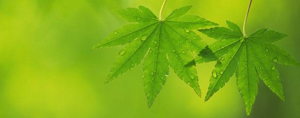 Foto de dos hojas de arce