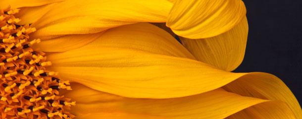 Primer plano de una flor de girasol